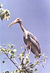 A female painted stork at a nesting site