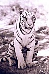 Picture of a White Tiger