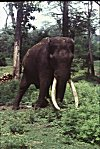Lone Tusker in Bandipur National Forest