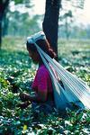 Girl Picking Tea Leaves